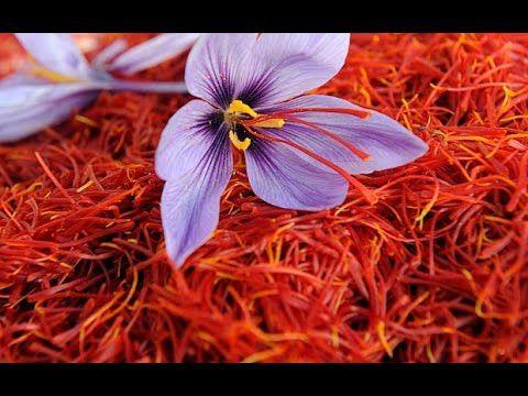 How To Grow Saffron From Seeds Saffron Bulbs Kesar Plant Seeds Oct Saffron Benefits Saffron Flower Saffron