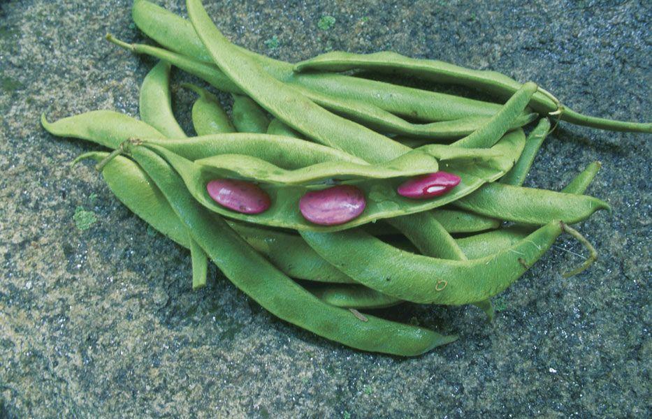 plant some runner beans  vegetable gardener  runner beans scarlet runner beans growing