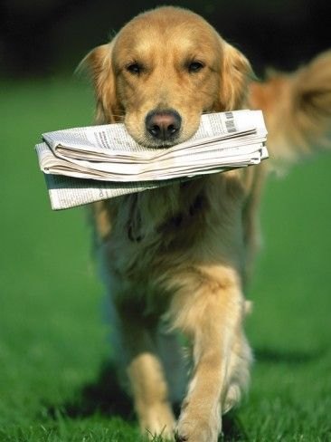 I Love Golden Retrievers I Had One Like This And I Would Always