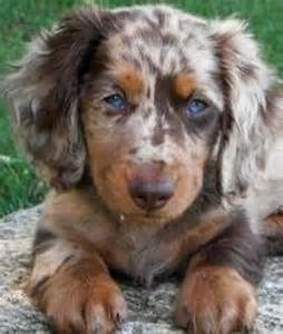 Dapple Dachshund With Blue Eyes Bing Images Puppies Dachshund