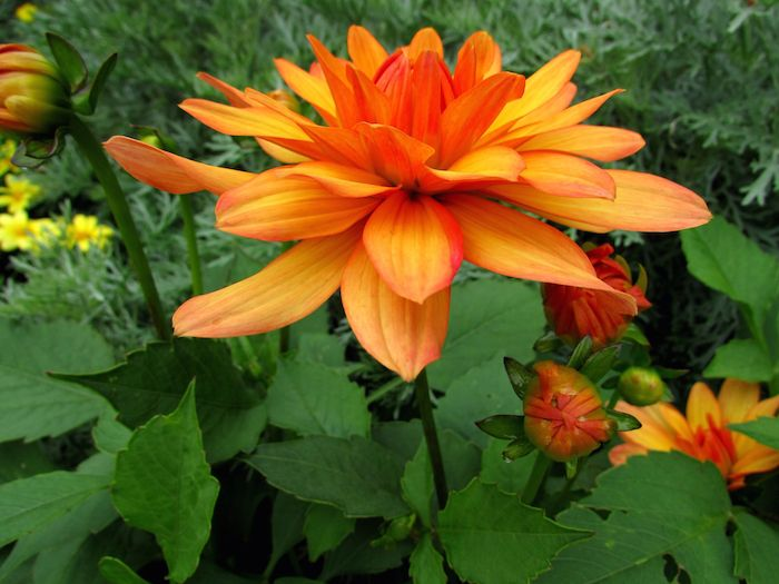 Dahlia Flower Its Meanings Symbolism When It Comes To Building A Bouquet That Really Stands Out The Dahlia Dahlia Flower Flowers Flower Meanings