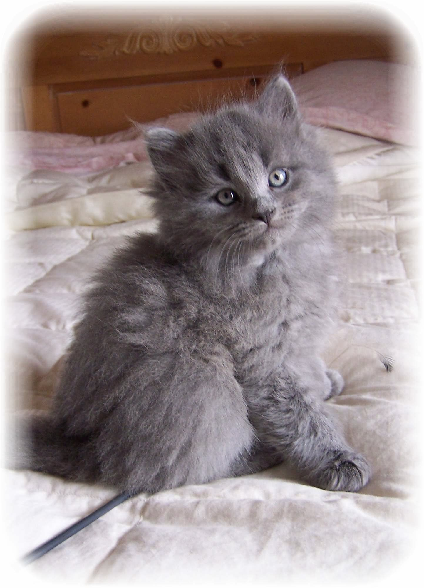 Hypoallergenic Kitten Siberian Cat Siberian Cat Cats Beautiful Cats