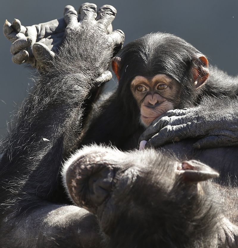 A mother chimp relaxes with her baby at Chimp Haven in Keithville, La.,  Feb. 19, 2013. One hundred and eleven chimpanzees will be coming from a south Louisiana laboratory to Chimp Haven, the national sanctuary for chimpanzees retired from federal research. (AP Photo) #animals #play