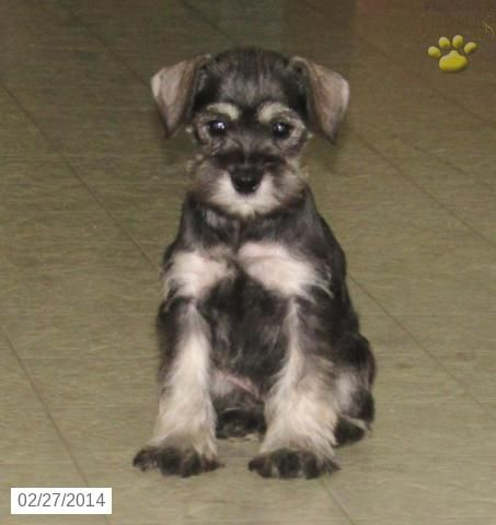Beauty Miniature Schnauzer Puppy For Sale In Gap Pa Miniature