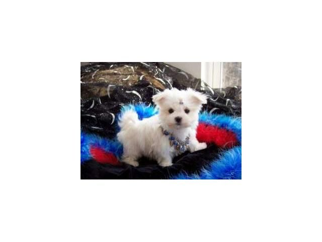 I Have Two Nice Baby Face Phil And Lilly Adorable Maltese Puppies For Free Adoption Teacup Maltese Maltese Puppies For Sale Puppies For Sale
