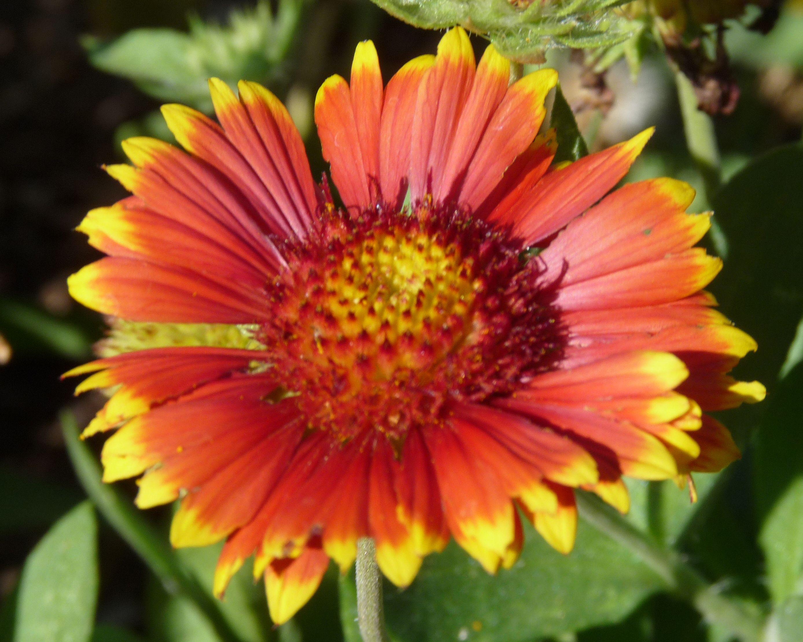 Orange Flower With Yellow Tips Flowers Orange Flowers Flowers