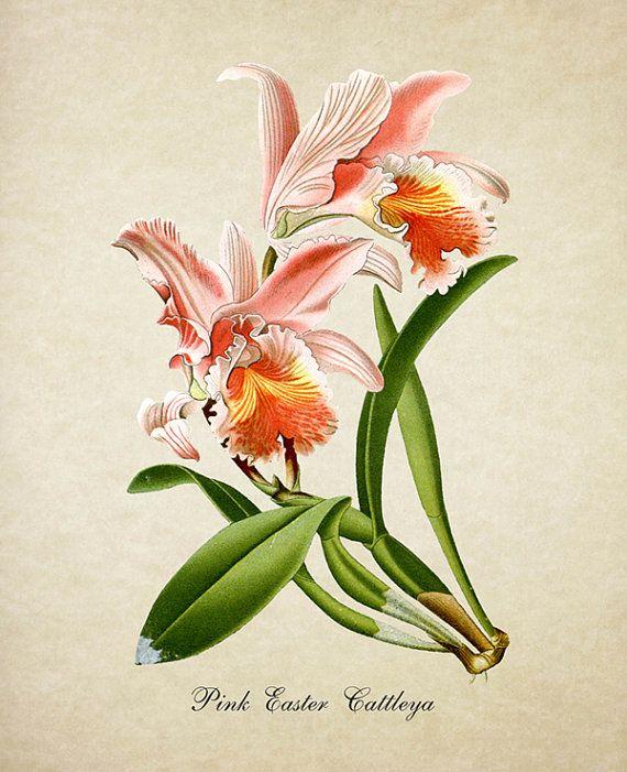 Botanical Print Cattleya Orchid Print Flower Art Print Pink Etsy Flower Illustration Flower Prints Art Flower Art