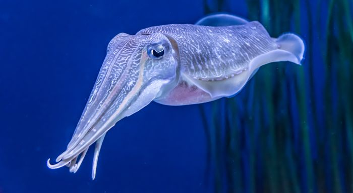 Cephalopods are unpredictable creatures. Which might explain why scientists were surprised to learn recently that while much ocean life is decreasing, ...