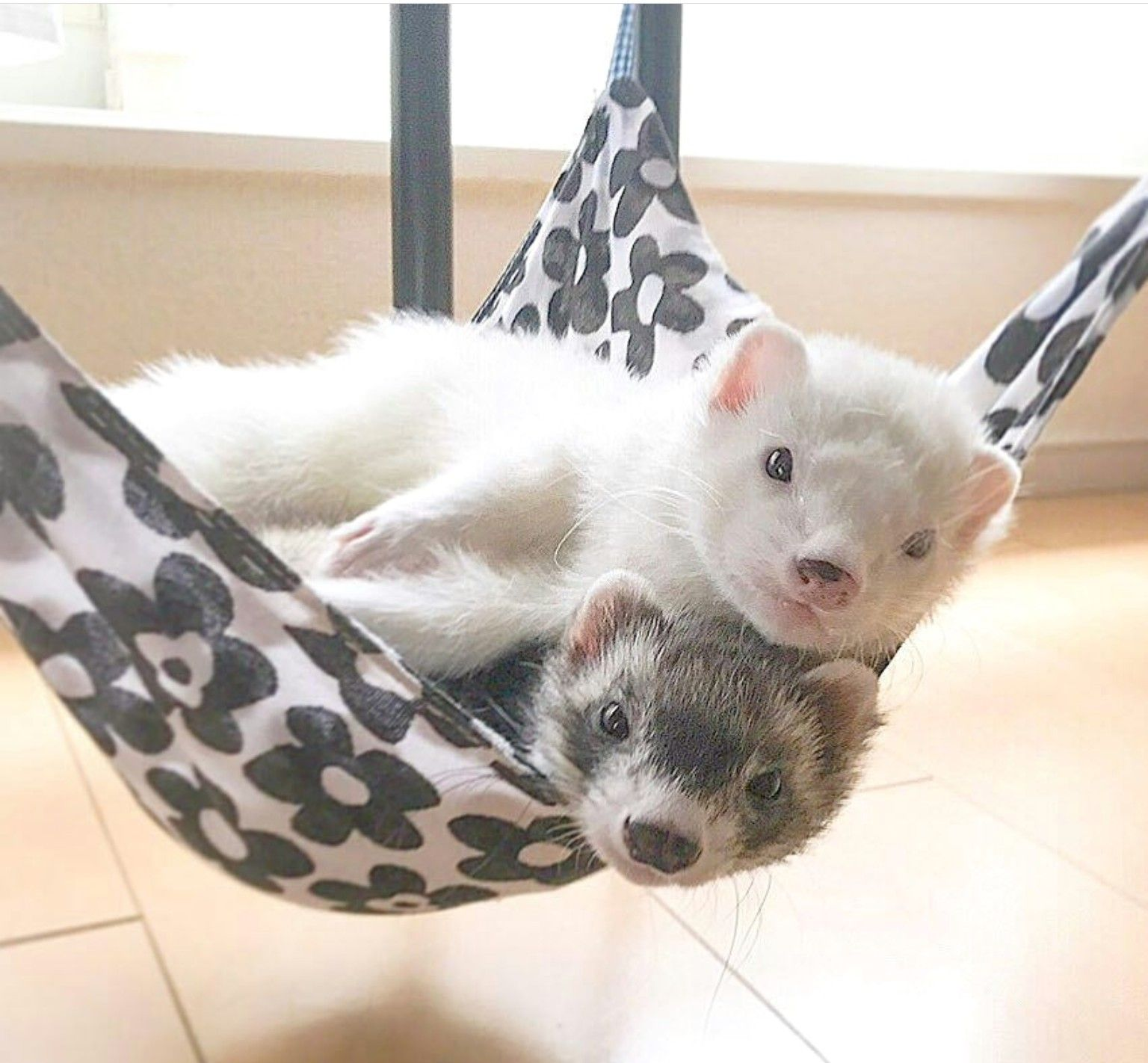 Out Of This World Cute Cute Ferrets Pet Ferret Baby Ferrets