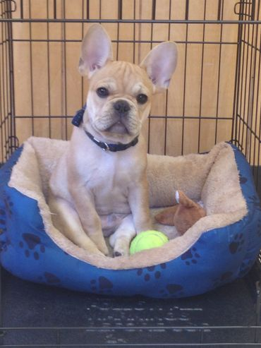 We Are A Small Family Breeder Of Quality Health Tested Akc Standard Color French Bulldogs Located Near Oxford O French Bulldog Puppies And Kitties Bulldog