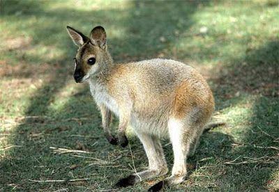 Ualabí (del inglés wallaby) es el nombre vulgar de cualquiera de las especies de marsupiales diprotodontos de la familia Macropodidae que no es lo suficientemente grande para ser considerado un canguro. Por lo tanto no es una clasificación científica. Hay aproximadamente treinta especies denominadas ualabíes.