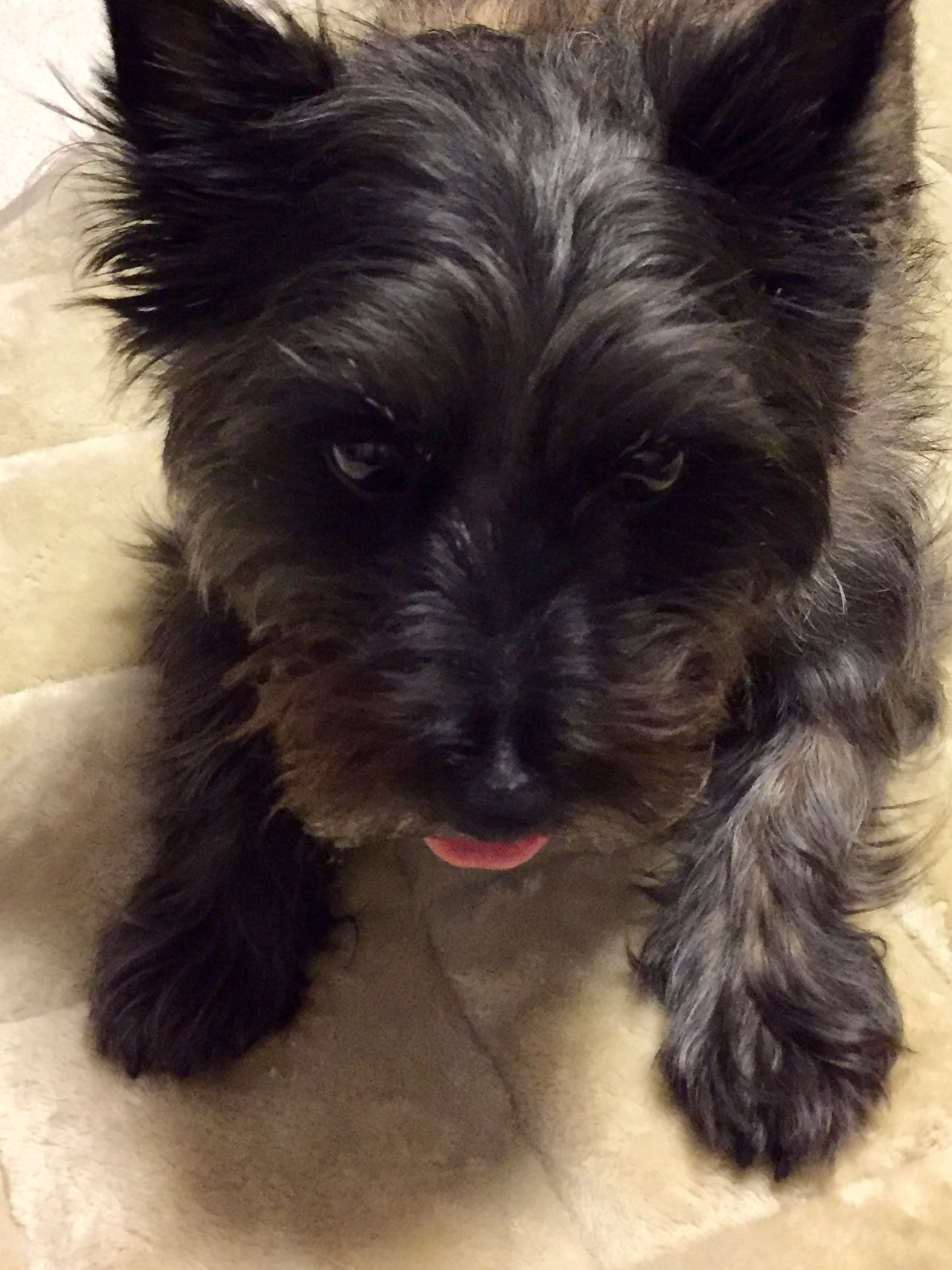 Pin By Dan Williams On Cairn Cairn Terrier Terrier Scottish