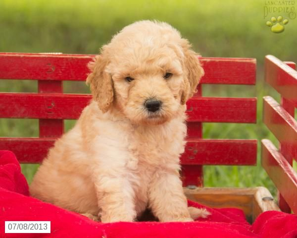 Labradoodle Puppies For Sale Lancaster Puppies Labradoodle
