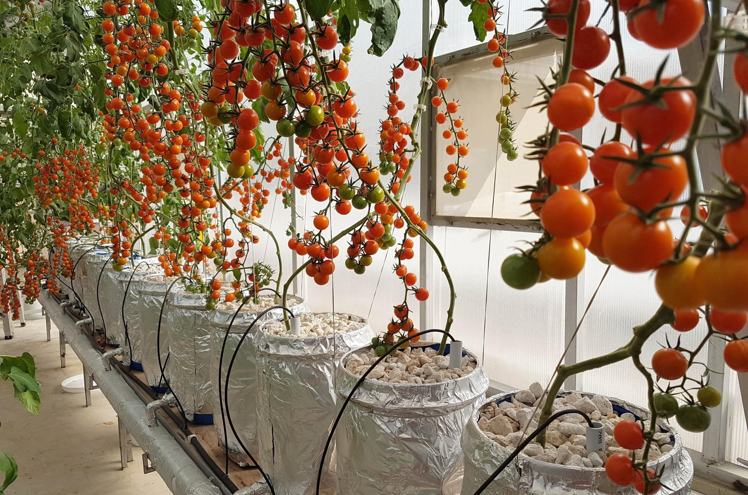 Sweet Cherry Tomatoes In Hydroponic Dutch Bucket System Growing In
