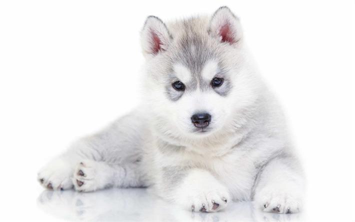 Perros Husky Siberiano Fondos De Pantalla Hd De Animales 2: Descargar Fondos De Pantalla 4k, Husky, Cachorros, Perros