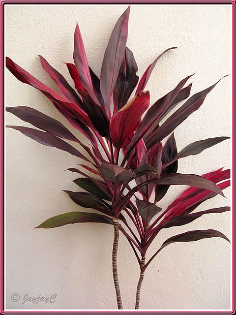 Propagating Ti Plant Cordyline Terminalis Stem Cuttings Ti Plant Plants Plant Cuttings