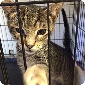 Windsor, CT - Domestic Shorthair. Meet Pax, a kitten for adoption. http://www.adoptapet.com/pet/15321619-windsor-connecticut-kitten
