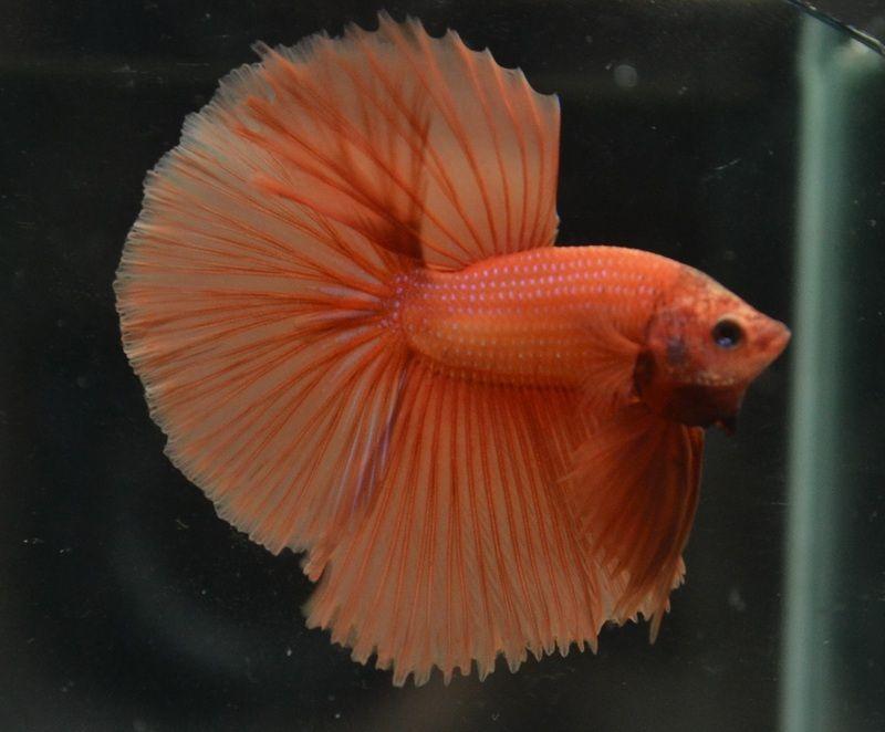 Nice Bettas For Sale Hmpk Ct Hm Betta Club Singapore Betta Betta Fish Fish Pet
