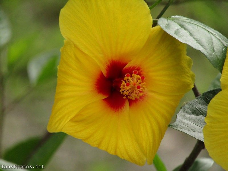 Yellow Hibiscus Flower With Red Center By Ian Sands 12 In 2020 Hibiscus Flowers Yellow Hibiscus Flowers Photography