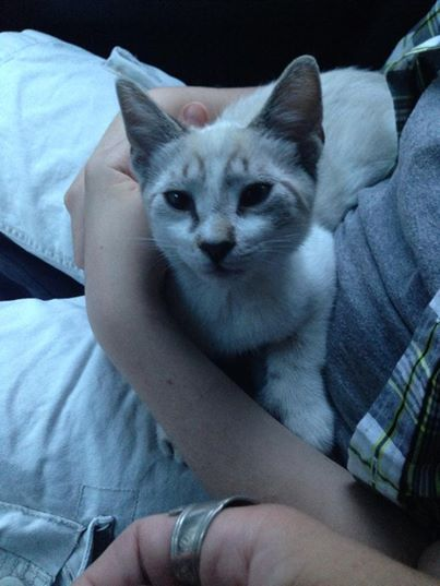 Found Cat Siamese In Middlefield Ct Lost My Kitty Found Cat