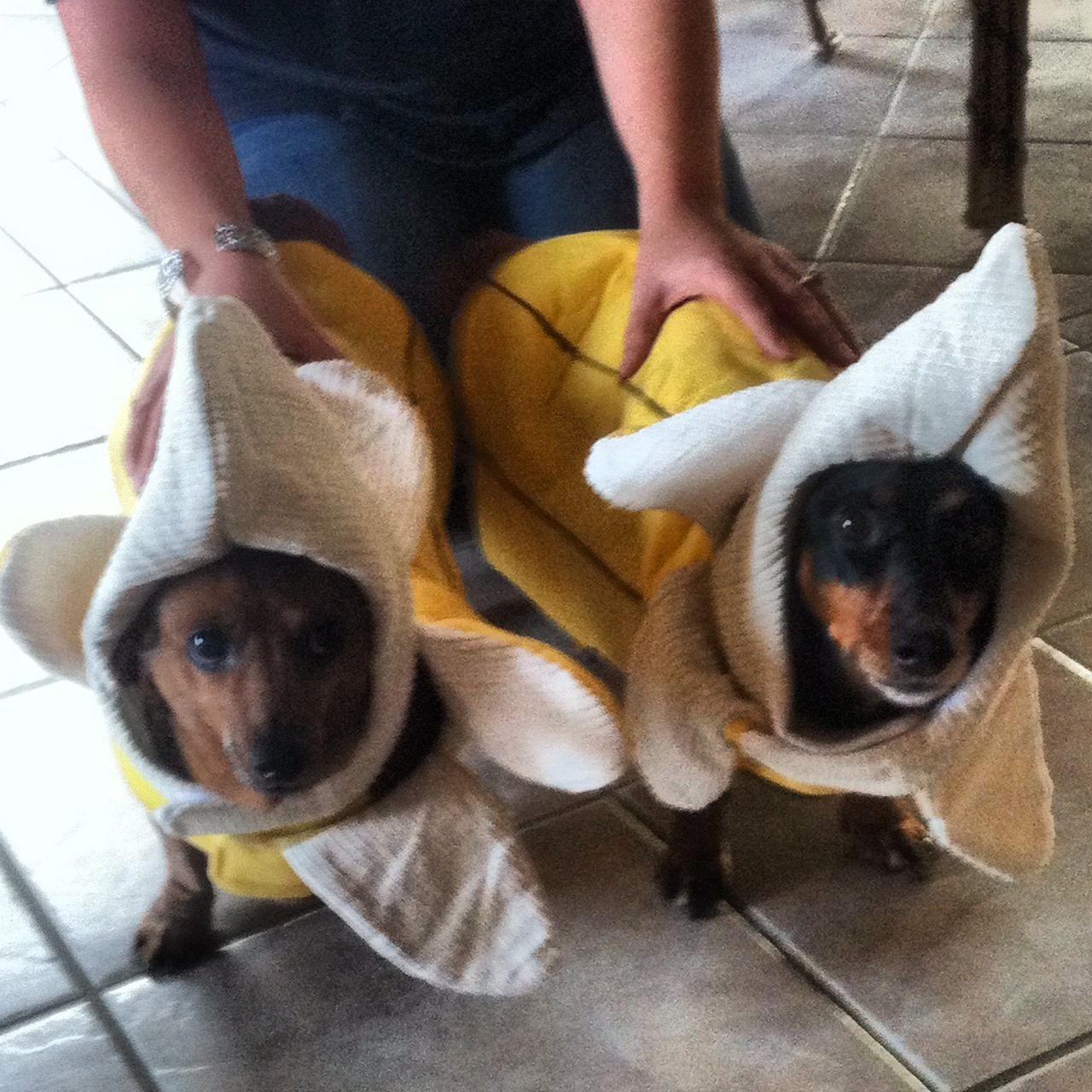 My Little Dachshunds In Banana Costumes Halloween Animals