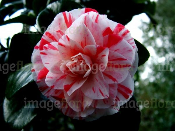 Camellia Japonica Variegated Form White Striped Red Double Flower Top Flower Tops Flowers Variegated