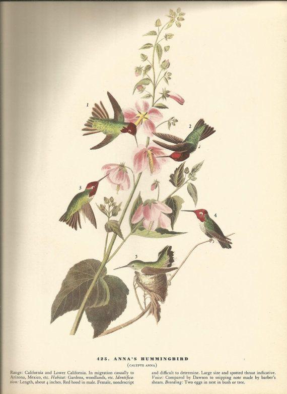 Colombian Hummingbird Anna/'s Audubon Bookplate Bird Print Picture Poster