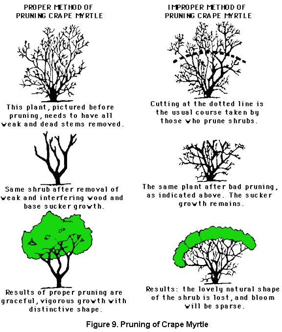 Proper And Improper Methods For Pruning A Crape Myrtle Click In Image To See Full Size Image Myrtle Tree Landscaping Trees Crepe Myrtle Trees