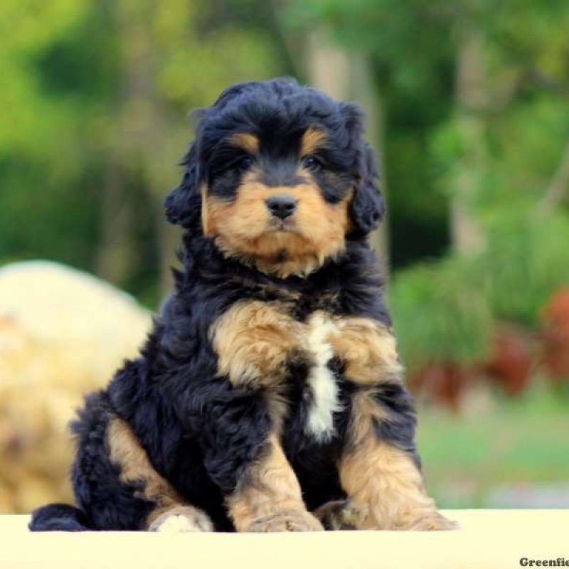 Mini Bernedoodle Puppies For Sale Bernedoodle Puppy Mini