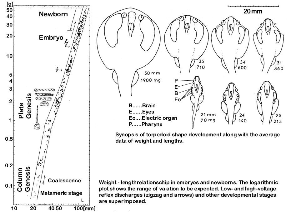 Electric Organ Development In The Electric Ray Httpbiophysicsg