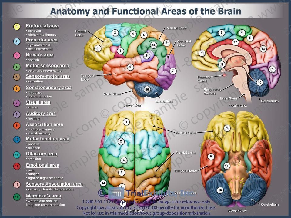 an analysis of different structures and areas inside the brain There are plenty of descriptions of the years harvey dodged detection, keeping the brain in a cider keg inside a beer cooler for decades before finally giving sections to neuroanatomists to study.