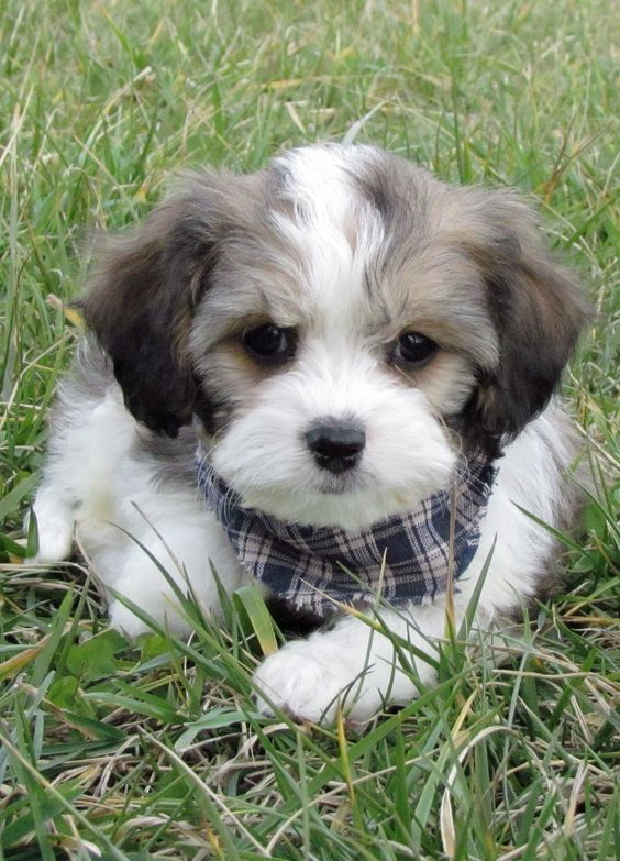 Pin on Cavachon Breeders