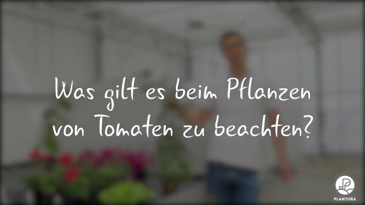 Anzeige I Tomaten Pflanzen Richtiger Standort Geeignete Erde Damit Die Tomatenernte Nicht Wieder Aus Tomaten Pflanzen Geranien Pflanzen Rosmarin Pflanzen