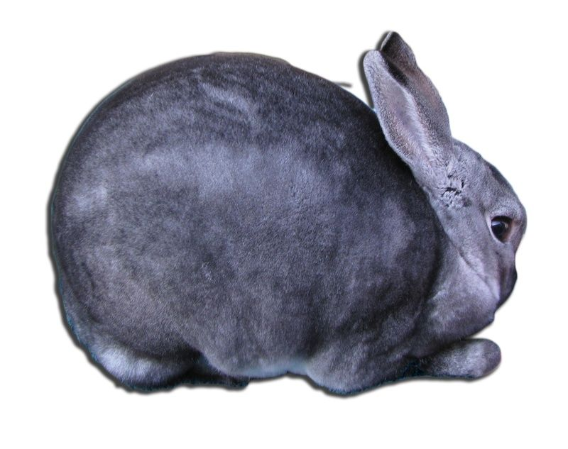 RECOGNIZED MINI REX VARIETIES Microfarm Rabbit Showing - resume rabbit