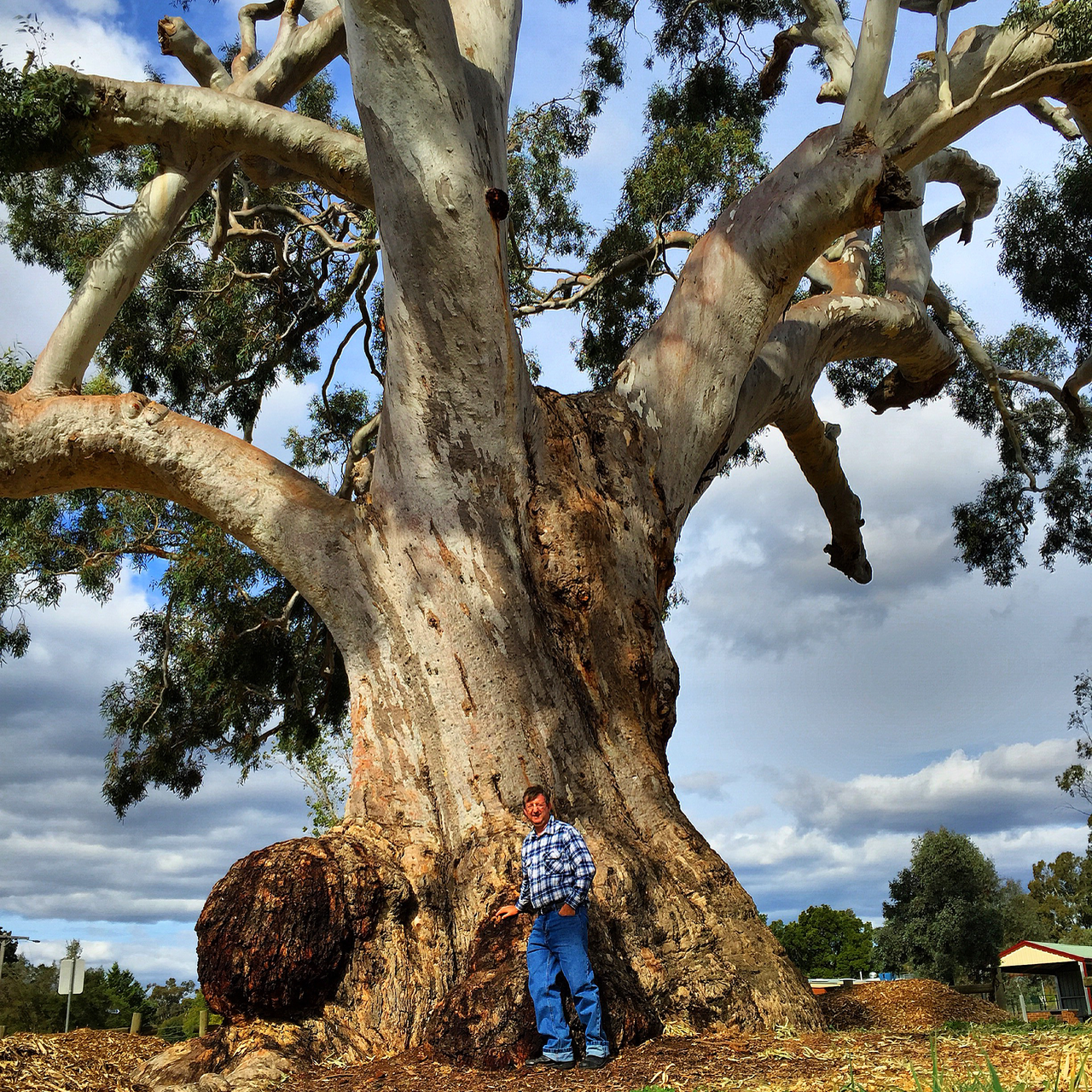The Big Tree Is A Large Well Preserved River Red Gum Eucalyptus Camaldulensis Located At The Corner Of Fryers Street And Ball Australian Trees Big Tree Tree