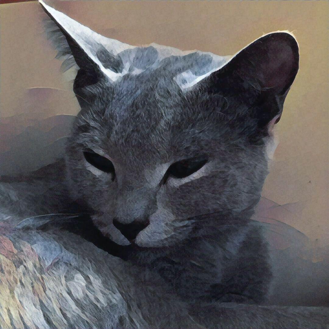Russian Blue Cat Venäjänsininen GIC Lirika Flor de Azur