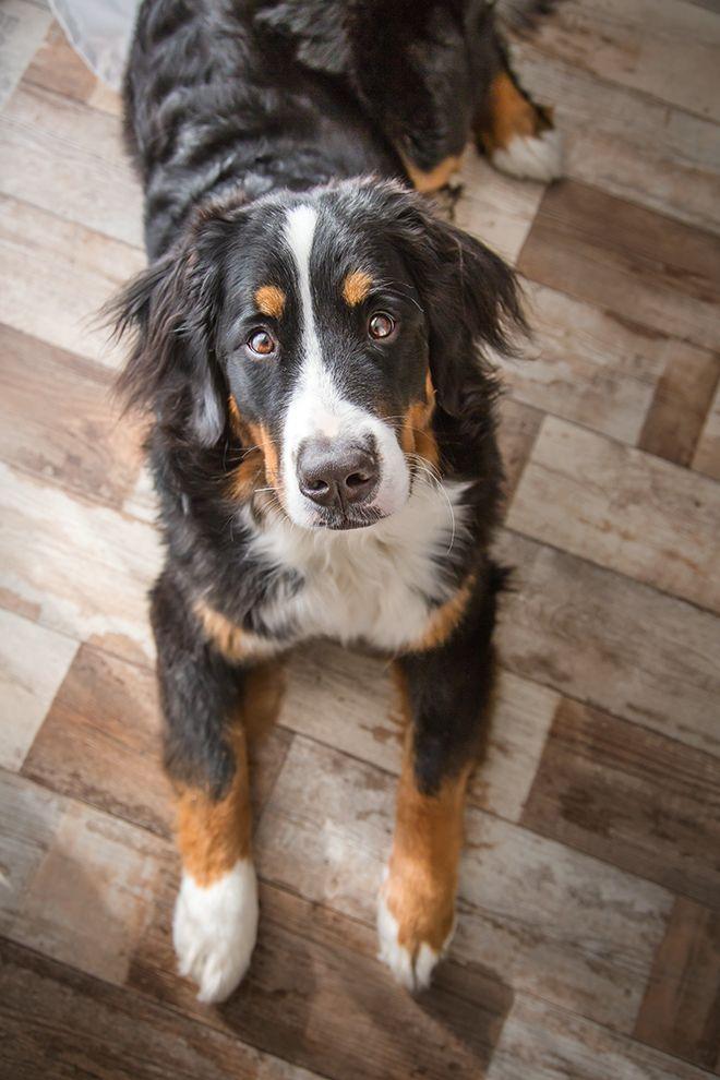 Berner Sennenhund Bernese Mountaun Dog bernsky salasnicky