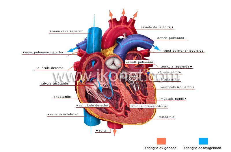 corazón image | Anatomie | Pinterest | Anatomía, Anatomía humana y ...