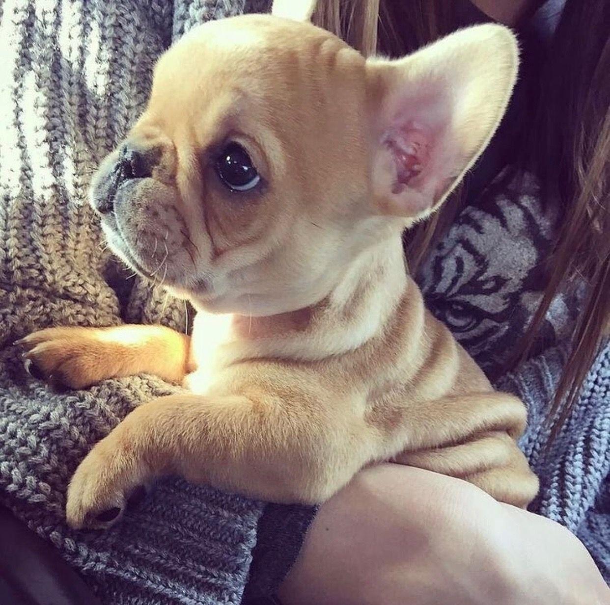 French Bulldog Puppy Puppy Puppies Frenchbulldog
