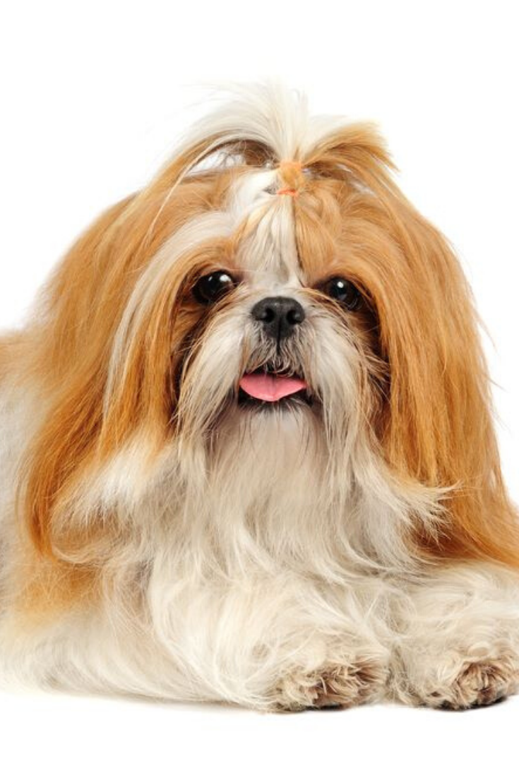 Shih Tzu Dog In Studio On White Background Shihtzu Shih Tzu Dog Shih Tzu Dogs