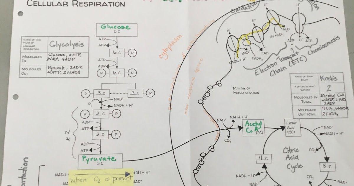 Cellular Respiration Diagram Biology Classroom Pinterest