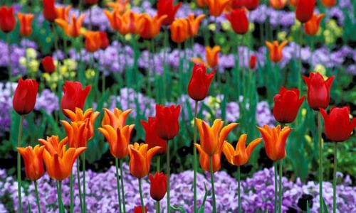 Search Results Tulips Plant Combinations Lily Flower