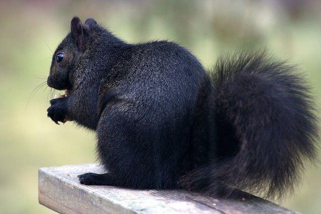 Este Hermoso Animalito Es La Ardilla Negra Solo Hay Una De Este