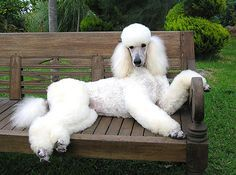 Standard Poodle Poodle Dog Poodle Puppy Dog Behavior