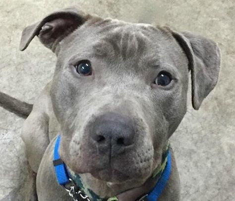 05 20 2017 Super Urgent Foster Or Adoption Needed To Be Destroyed Adopt Bruce 19549 Skinny Grey Pittie Mix Stray In Newark Nj Lap Dogs Dogs Dog Adoption