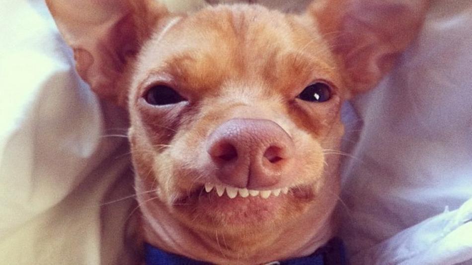 Tuna Chihuahua Weiner Dog Mix Chiweenie Tuna Dog Cute Dogs