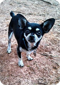 Pin By Kelsey Dempsey On Aww Chihuahua Mix Chihuahua Dogs