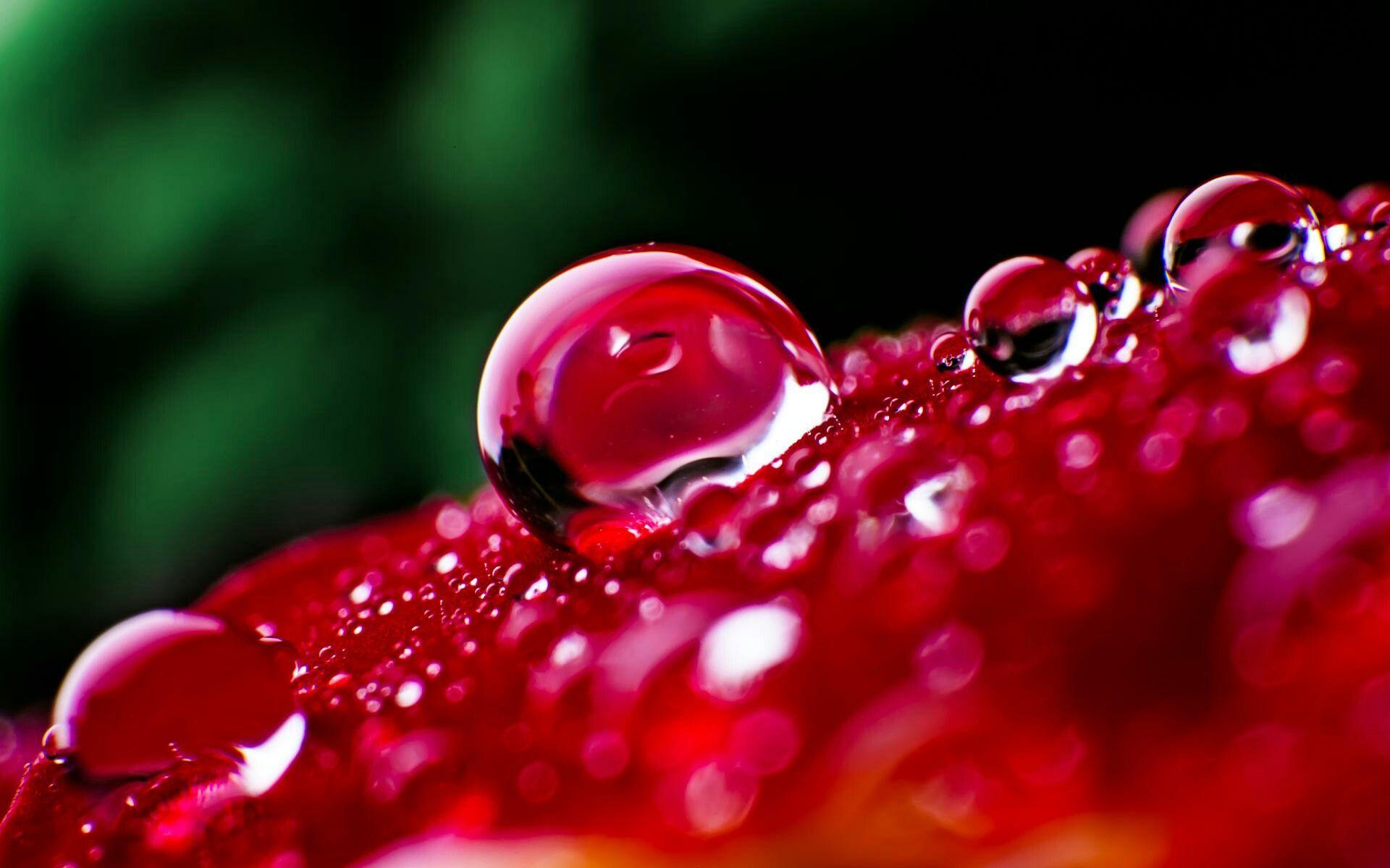 Red Rose Water Drops Macro HD Desktop Wallpaper for K Ultra