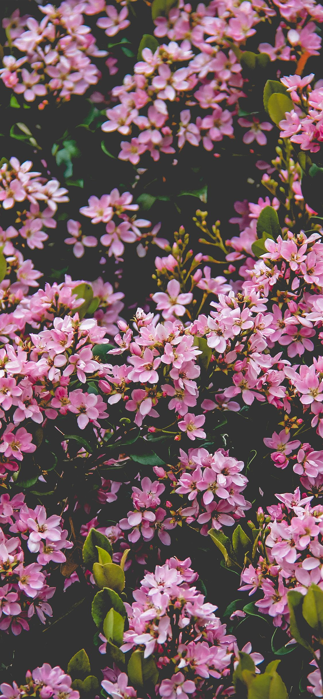 Nv68 Flower Pink Spring Happy Nature Via