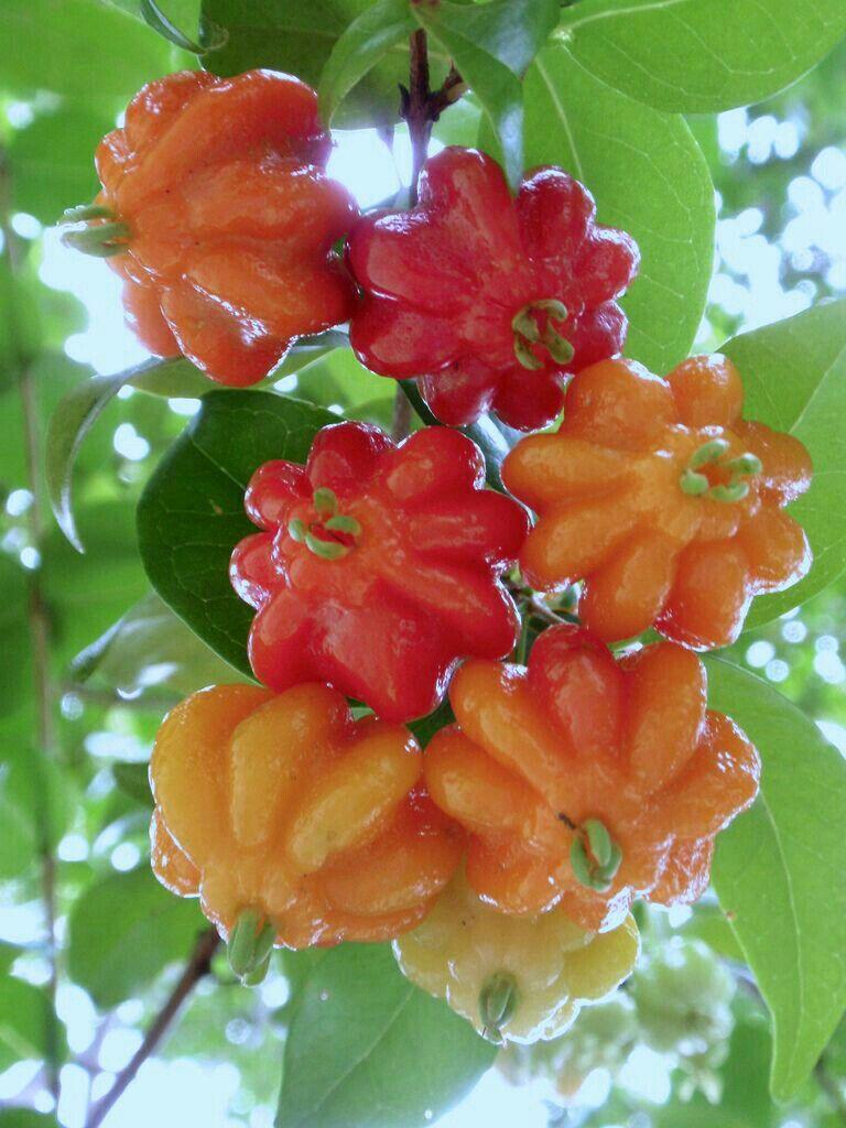 Surinam cherry fruits pinterest tropical fruits weird fruit